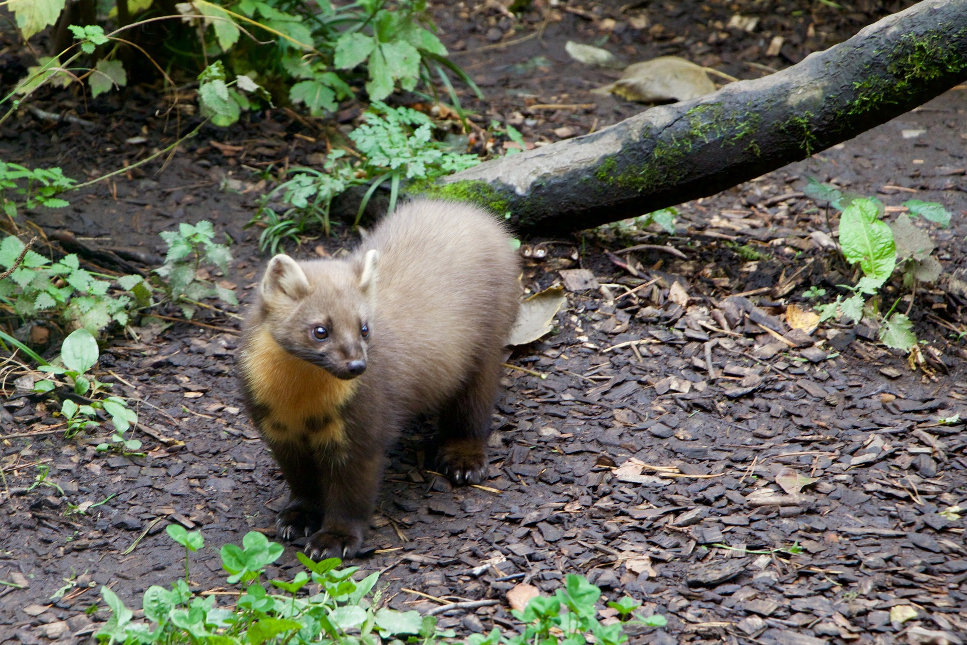 RARE PINE MARTEN DISCOVERED IN BROADSTAIRS